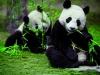 six-senses-panda