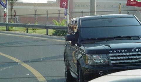 Tiger Riding Shotgun in Range Rover