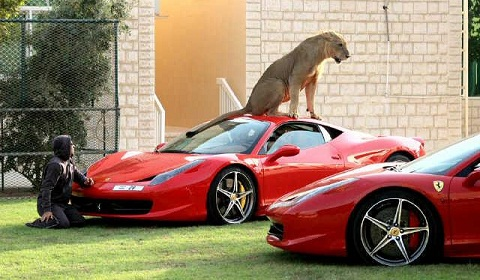Lion on Ferrari 458 Italia