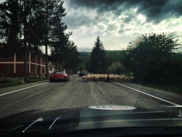 Mille Miglia sheep on the road